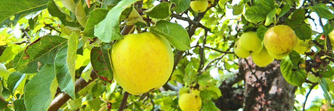 foto av äppelträd