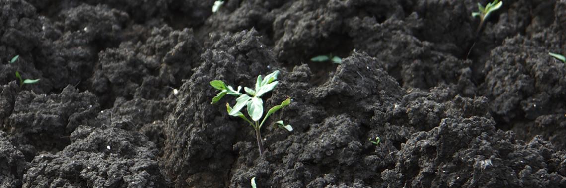 Foto av växt som kommer upp ur jord